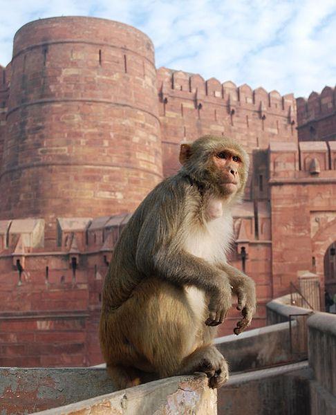 Macaque (Photo: Thomas Schoch, www.commons.wikimedia.org)