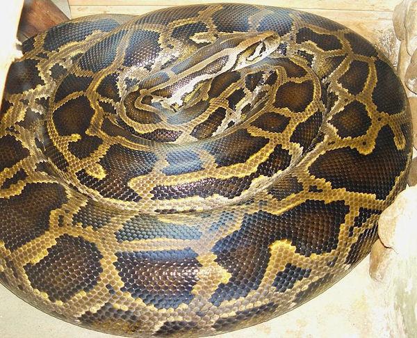 Python molurus bivittatus (Photo: Mariluna, www.species.wikimedia.org)