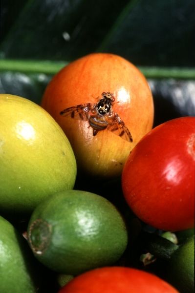 The female Mediterranean fruit fly, shown here on a coffee fruit, can deposit eggs 2-3    millimeters deep in papayas (Photo: Scott Bauer)