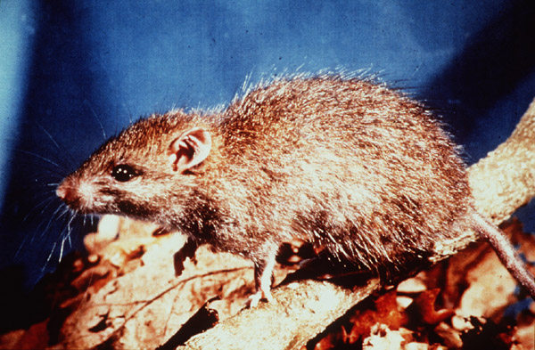 Rattus exulans (Photo: Mere Roberts, Auckland University)