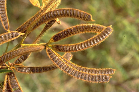 Mimosa fruit (Photo: Colin Wilson, Parks & Wildlife Commission, Nothern Territory, Australia)