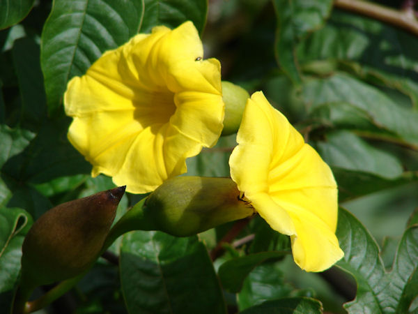 Merremia tuberosa (Flower) (Photo: Forest and Kim Starr, www.hear.org)