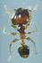 Pheidole megacephala worker (soldier) dorsal view (Photo: Japanese Ant Color Image Database)