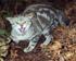 Felis catus on Chatham Island (Photo: Rex Williams, Chatham Island Taiko Trust)
