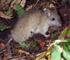 Rattus rattus on Chatham Island (Photo: Rex Williams, Chatham Island Taiko Trust)
